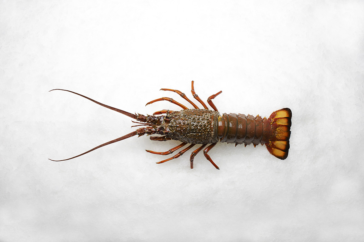 Lee fish usa lobster packhorse for New zealand ling fish