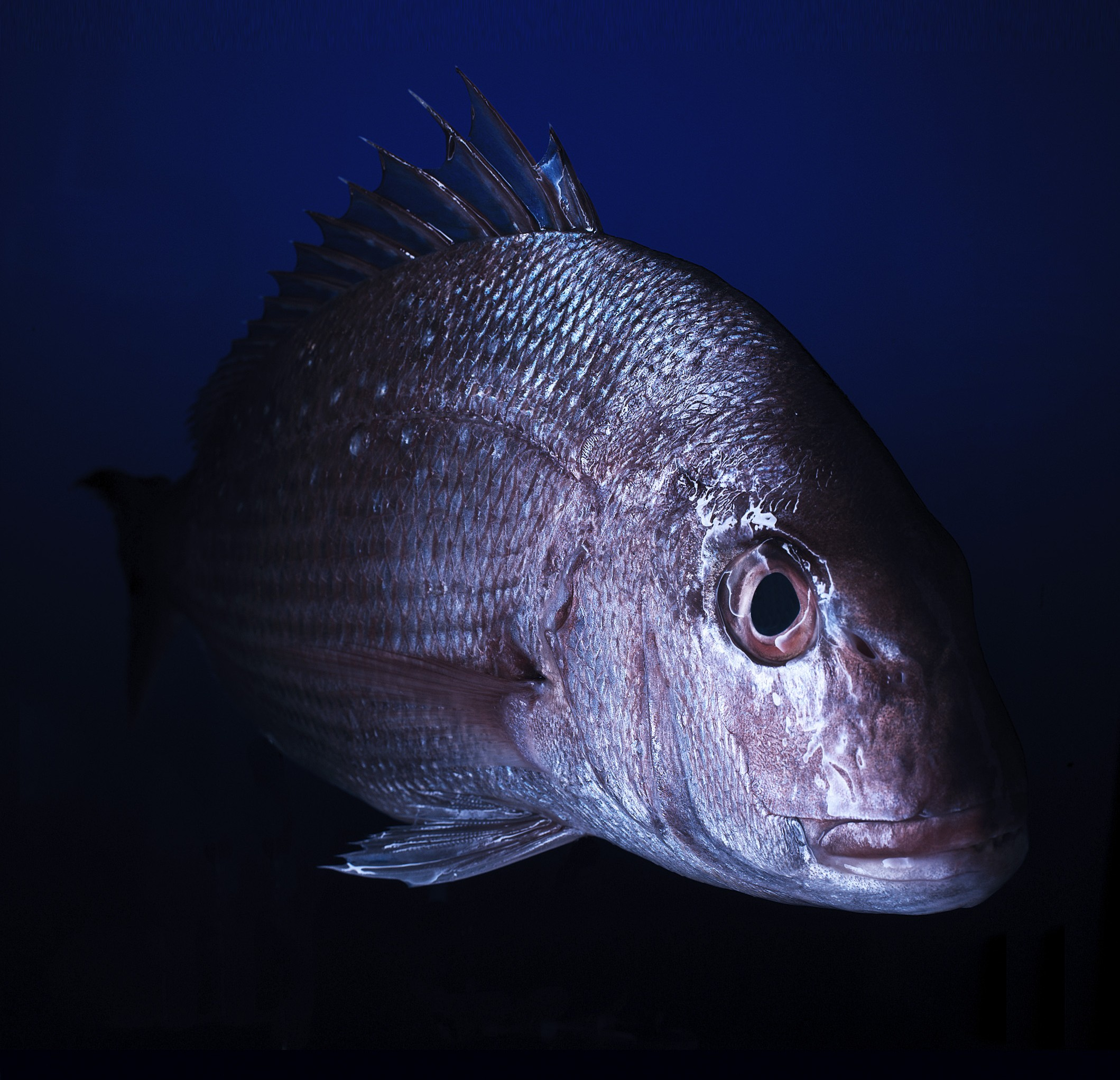 Snapper Whole Fish