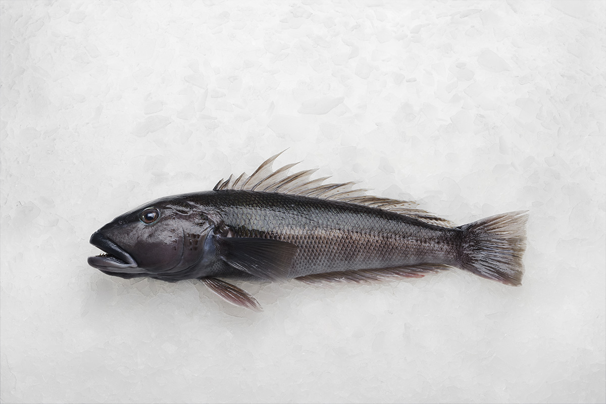 Lee fish usa blue cod for New zealand ling fish