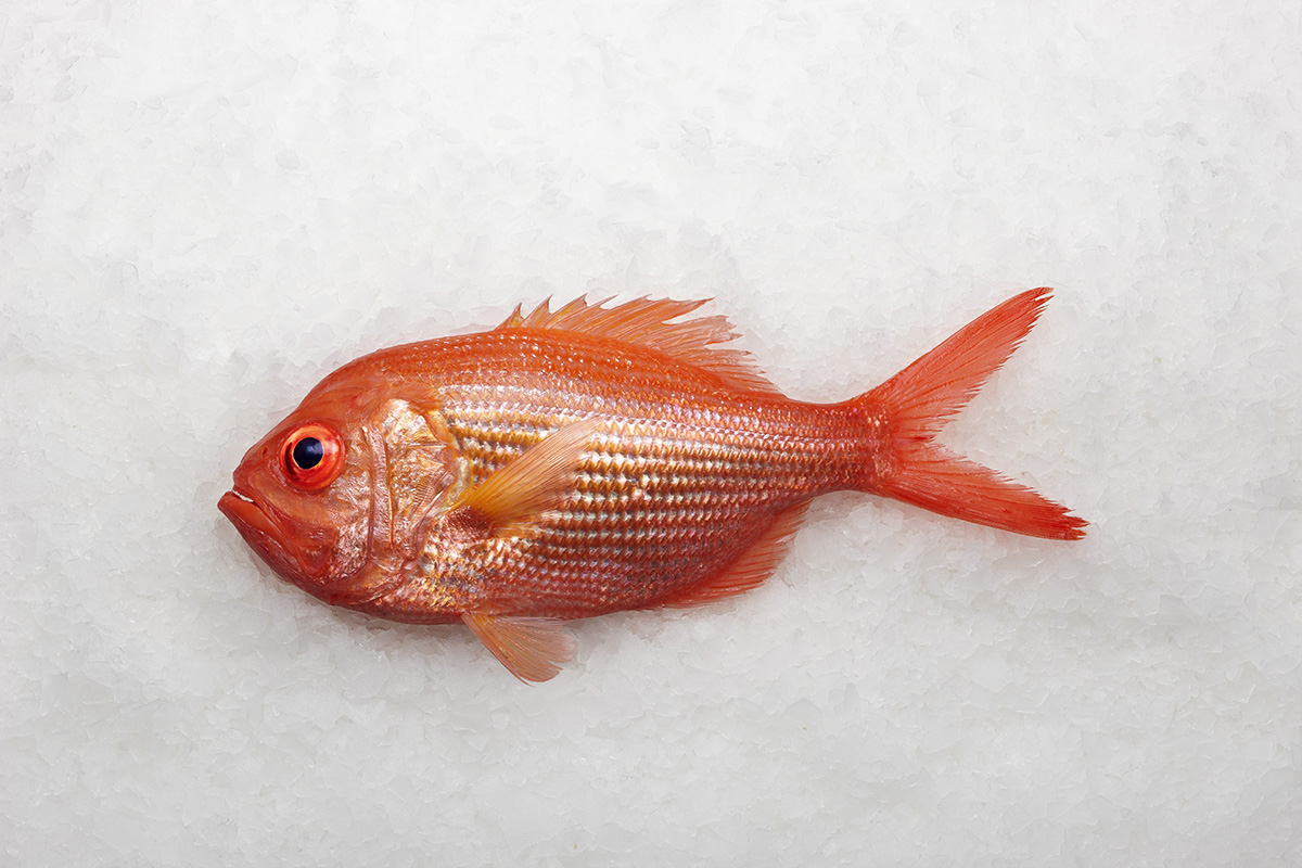 Lee fish usa red snapper for Red snapper fish